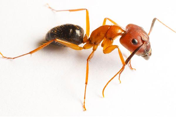 Ant Control & Extermination Information