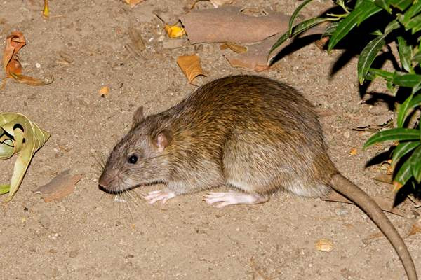 Do You Need a Rodent Exterminator?
